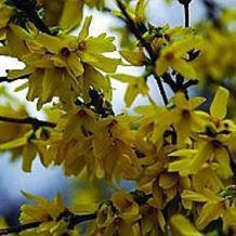 Vårguld - Forsythia 'Weekend'