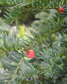 Taxus baccata 'Hjorthede'