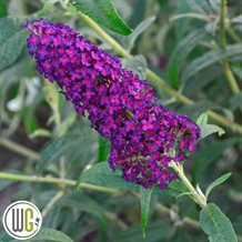 Buddleja DarkDynasty_gugplanteskole