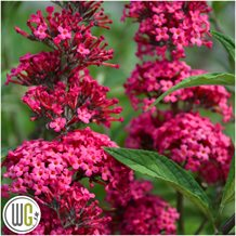 BuddlejaPrinceCharming_gugplanteskole